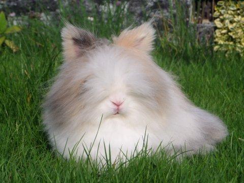 kanin halvt dværgkanin halvt løvehoved